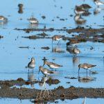 Shorebird Program